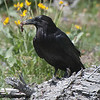 Common Raven - Yellowstone Park