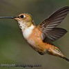 Rufous Hummingbird -  in flight at 1/8000 near Olympia, Wa