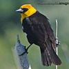 Yellow-Headed Blackbird - near Idaho Falls, ID