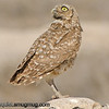 Burrowing Owl -  Taken in Snake River Birds of Prey Area near Kuna, ID.