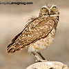 Burrowing Owl - guarding nest near Boise, ID