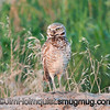 Burrowing Owl - Birds of Prey area near Kuna, Id