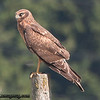 Northern Harrier - Scattercreek near Olympia, WA