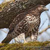 Red-Tailed Hawk - About to enjoy lunch at Nisqually Wildlife Refuge near Olympia, Wa