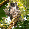 Great-Horned Owl - Nisqually Wildlife Refuge near Olympia, WA