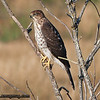 Cooper's Hawk - Nisqually Wildlife Refuge near Olympia, WA