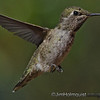 Hummingbirds : Hummingbirds