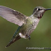 Anna's Hummingbird - in flight at 1/8000 near Olympia, Wa