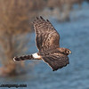 Northern Harrier - Nisqually Wildlife Refuge near Olympia, WA