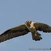 Osprey : Osprey gallery