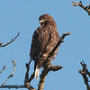Red-Tailed Hawk - Nisqually Wildlife Refuge near Olympia, WA
