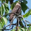 Sharp-shinned Hawk - near Olympia, WA
