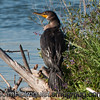 Double-crested Cormorant - near Idaho Falls, Id