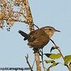 Bewick's Wren - taken near Olympia, Wa in 2012.