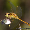 Dragonfly - near Olympia, Wa