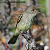 Pacific-slope Flycatcher - near Olympia, Wa. Taken in 2012.