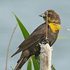 Yellow-Headed Blackbird - near Idaho Falls, Id.