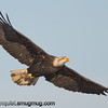 Bald Eagle - from a series of shots I took a few weeks ago. Taken near Olympia, Wa.  I really appreciate the comments!