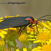 Red-Shouldered Ctenucha moth - taken near Olympia, Wa.  I really appreciate the nice comments and the interest in my hummingbird shot!