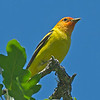 Western Tanager male - this angle doesn't show just how colorful these birds are. I hope to get a shot with a better angle in the near future. Taken near Olympia, Wa.