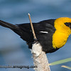 Yellow-Headed Blackbird - with some tasty insects near Idaho Falls, Id. Taken in June.