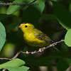 Wilson's Warbler - taken near Olympia, Wa. Taken in July.