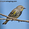 Yellow-Rumped Warbler - near Olympia, Wa. Taken in June.