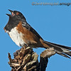 Western Spotted Towhee - singing in the sun.  I went back to the same branch today to try get shot of the towhee singing without the tree trunk in the background. I setup with a better angle and was fortunate to get a better shot after awhile and I prefer this profile shot anyway.   Thank for you for the very nice comments yesterday and previously about my pictures, I really appreciate it!