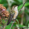 Rufous Hummingbird - near Olympia, Wa. Taken in 2012.