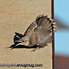 Rock Wren - close up of the flared feathers when another wren got too close. Take near Kuna, Id.
