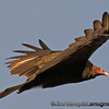 Turkey Vulture - I was visiting family last weekend and I found some vultures(no relation) circling low over a canyon just before sunset. There were about 20 vultures, some on power poles and others circling between me and the sun but occasionally one would circle behind were I got some decent light. Taken in Snake River Birds of Prey area near Kuna, Id.  Note: the under exposed area under the wing was very noisey when i tried to lighten it. I may try to fix that again later.