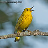 Yellow Warbler - singing a little song near Olympia, Wa.