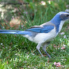 """J"" is for Jay - Western Scrub-jay"