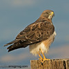 Swainson's Hawk - taken near Kuna, Id.  I appreciate the nice comments and the interest in my Turkey Vulture shot! Thank you