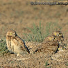 Burrowing Owls - near Kuna, Id.