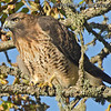 Red-Tailed Hawk - near Olympia, Wa. Taken in September 2013.