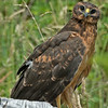 Northern Harrier juvenile - taken near Olympia, Wa.
