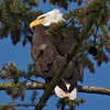 Bald Eagle - taken with a super zoom compact while my DSLR is in for service.