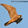 Immature Peregrine Falcon - taken near Olympia, Wa.   I'm testing a new lens which seems to be giving me improved sharpness in this flight shot. Though I wish I used a larger F stop in this case for increased DOF for the closest wing tip. I had been getting very inconsistent results from my old lens for awhile. It probably didn't help that I tripped on a branch and fell on it awhile back :)  Update: I bought a Nikon F4 300mm AF which is much faster, has better AF and is more reliably sharp than my Nikon 4.5-5.6 70-300mm. It lacks VR and is less versatile so there are trade offs( as always). My original idea was a longer telephoto lens but the reviews I read showed this to be sharper than the longer telephoto lenses(with in my price range) and even comparable with a 1.4 teleconverter. Depending on how it goes I may still exchange it for a longer telephoto like the Tamron 150-600mm but I'm pleased with this one so far.