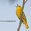 Yellow Warbler - singing his heart out near Olympia, Wa.