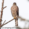 Sharp-shinned Hawk - near Olympia, Wa. Taken in 2011.