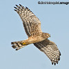 Northern Harrier - near Olympia, Wa.