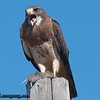 Swainson's Hawk - near Idaho Falls, ID. Taken August 2010.