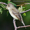 Pacific-slope Flycatcher - taken last summer in a park near Olympia, Wa. Taken in 2012.