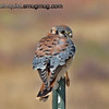 Male American Kestrel - Snake River Birds of Prey area near Kuna, Id.