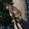 Bald Eagles : American Bald Eagles