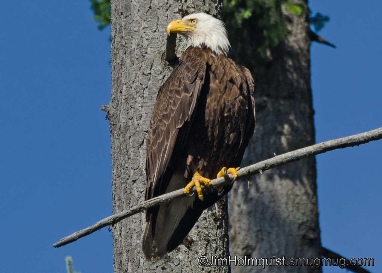 American Bald Eagle - near Olympia, Wa