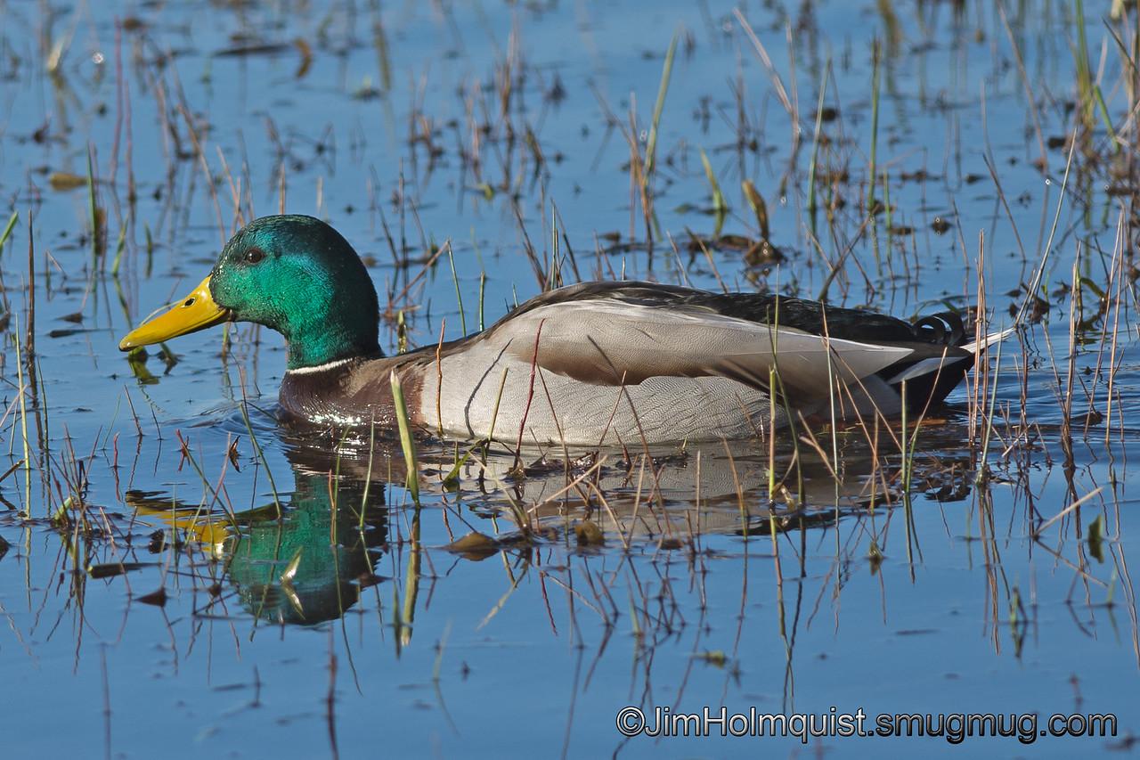 Mallard - taken near Olympia, Wa.<br /> <br /> I appreciate the comments!