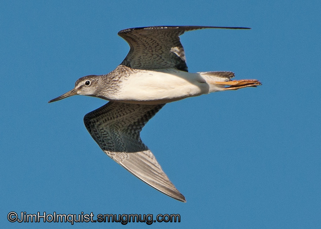 Greater Yellowlegs - near Olympia, Wa. Taken in 2011.