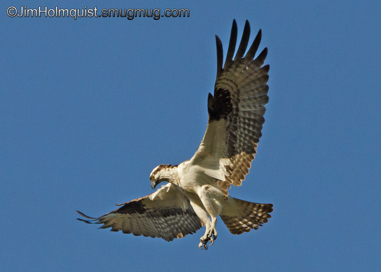 Osprey hovering, watching for a fish near Olympia, Wa. Taken in 2012.